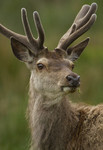 THE DEER GALLERY. Extensive collection for Red and Fallow Deer